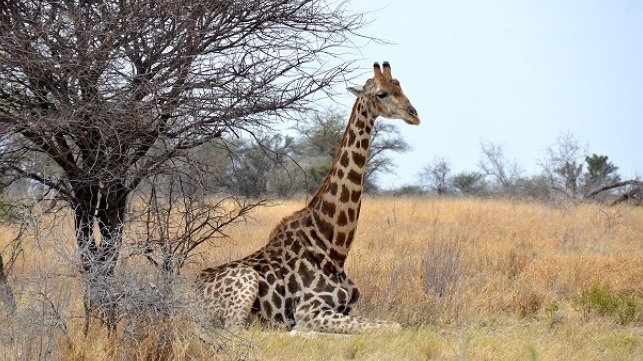 Cites Protects Giraffe For The First Time