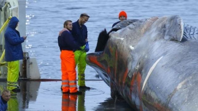 Sea Shepherd: Icelandic Whalers Slaughter Blue Whale